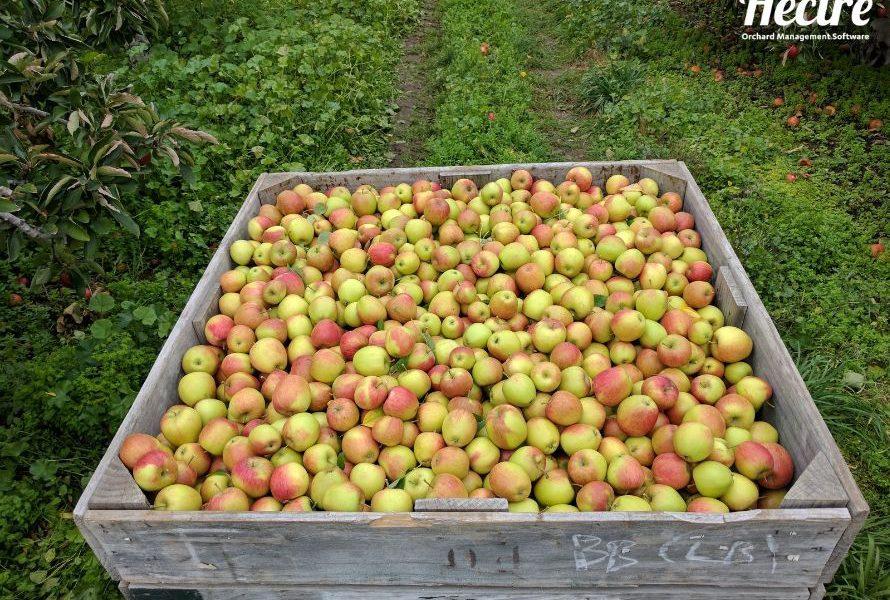 Custom data-set image of full apple bin in the orchard