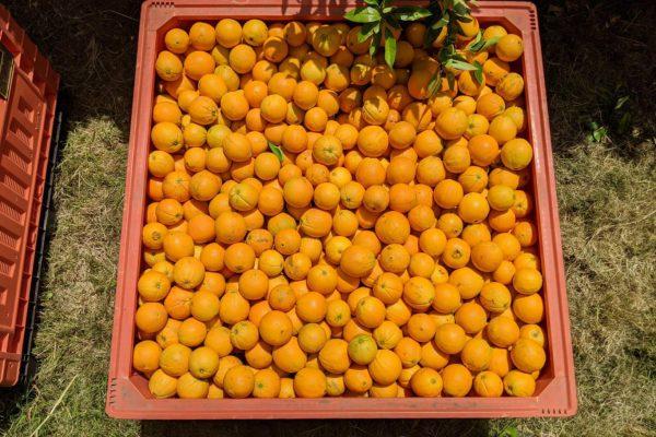 A beautiful bin of First Fresh NZ oranges