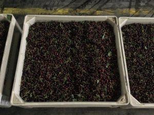 Fruit bins full of cherries