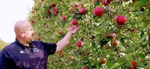 Apple farmer checking red apples